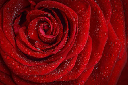 Red rose covered with dew