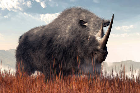 Hairy rhino