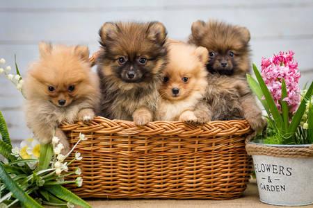 Pomeranian puppies in a basket