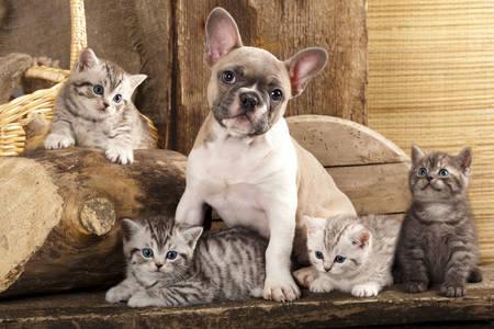 Cachorro de bulldog francés y gatitos